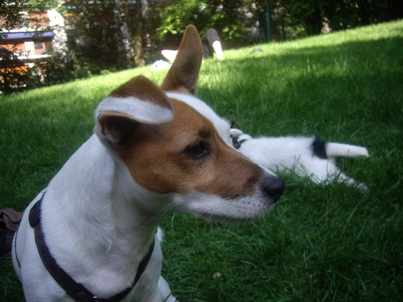 Les Jack Russell Terrier de l'affixe de l'Anse Royale