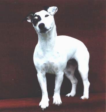 Les Jack Russell Terrier de l'affixe du Domaine de la Clairiere aux Loups