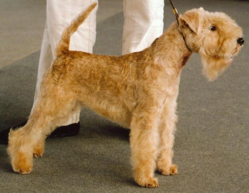 Les Lakeland Terrier de l'affixe de Vallauris des astucieux