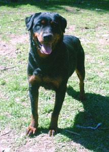 Les Rottweiler de l'affixe de L'Arbre des Batailles