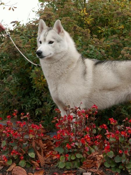 Les Siberian Husky de l'affixe de la Perle Siberienne