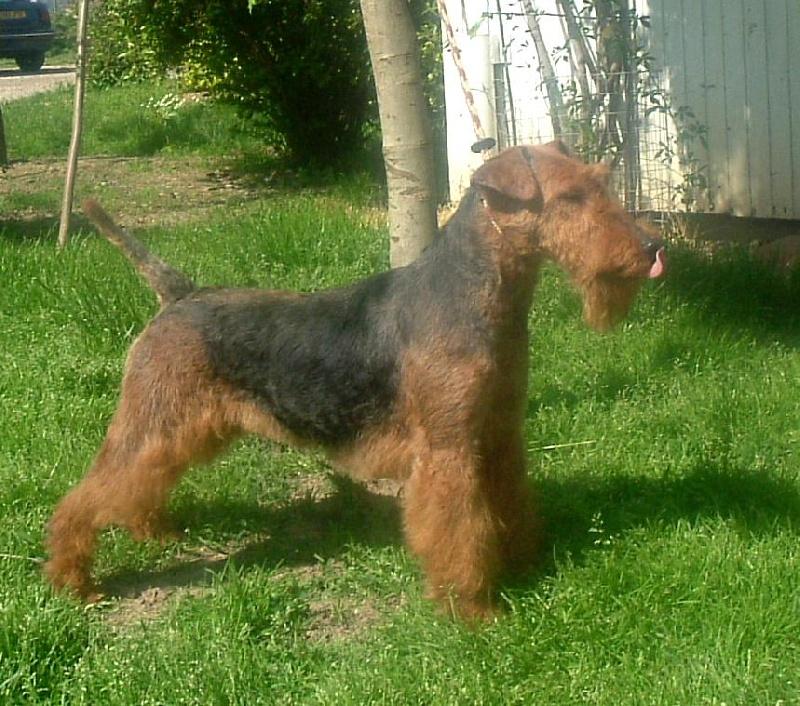 Les Welsh Terrier de l'affixe de Vallauris des astucieux