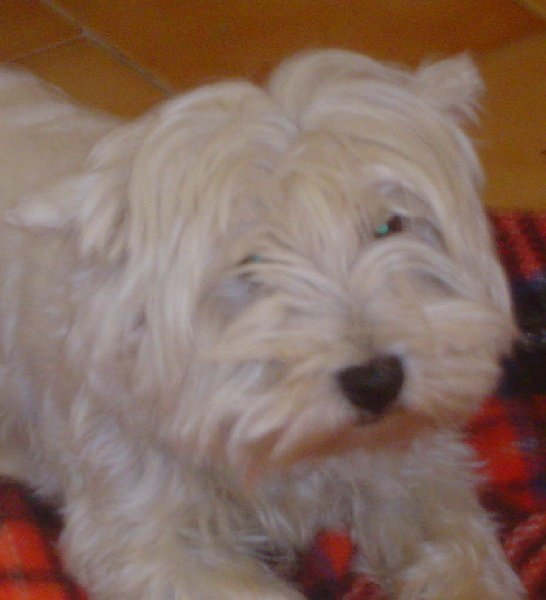 Les West Highland White Terrier de l'affixe du domaine de la Cigaliere