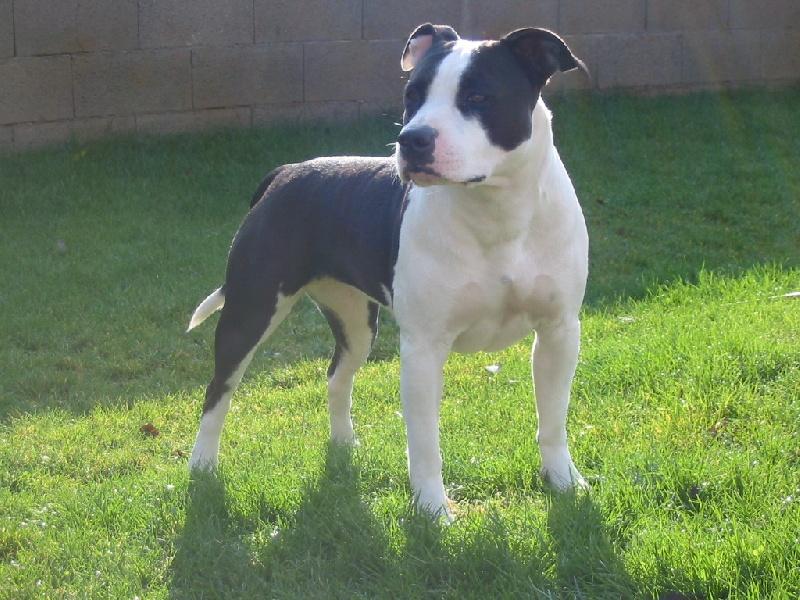Les American Staffordshire Terrier de l'affixe d'Ashakiran Blue
