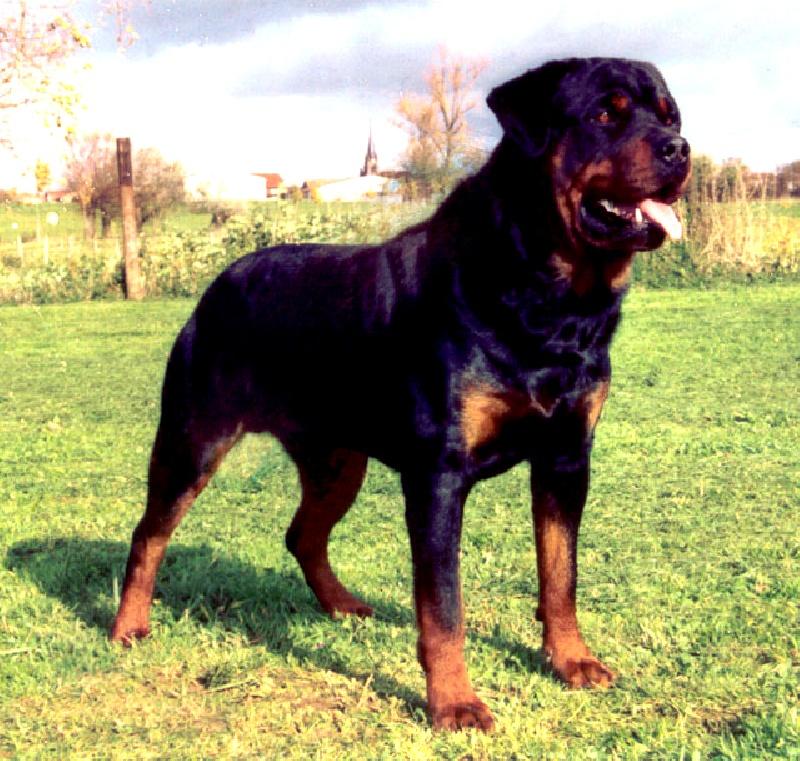 Les Rottweiler de l'affixe des Compagnons d'Ukraine