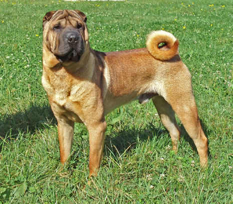 Shar Pei - CH. del Dragon de Koshi Keeper you are the music in me