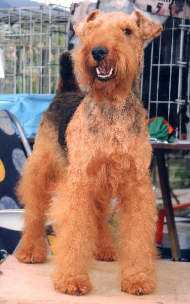 Le Standard de la race Welsh Terrier sur Atara.com