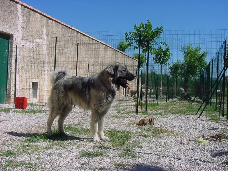 Le Standard de la race Berger Yougoslave de Charplanina sur Atara.com
