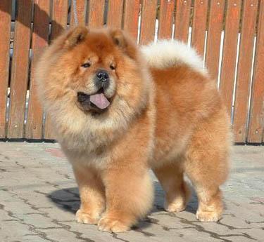 CH. rossy Shagio-chen whisky chien de race toutes races en