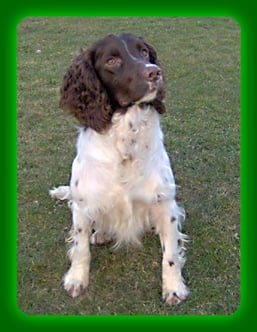 Les English Springer Spaniel de l'affixe Weeping Willows