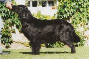 Les Flat Coated Retriever de l'affixe of Glen Sheallag