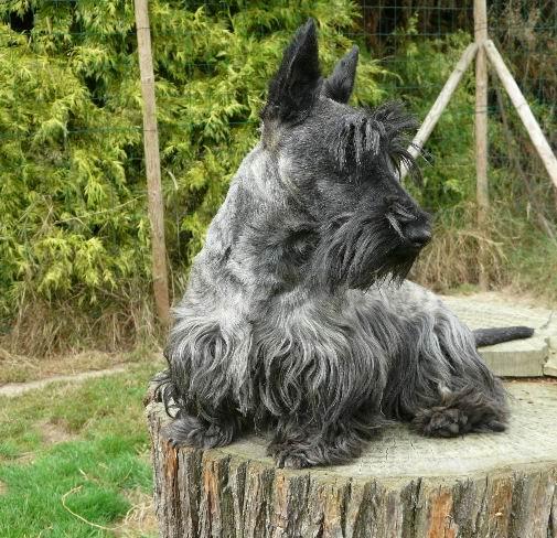 Les Scottish Terrier de l'affixe Des Terriers Du Marsan