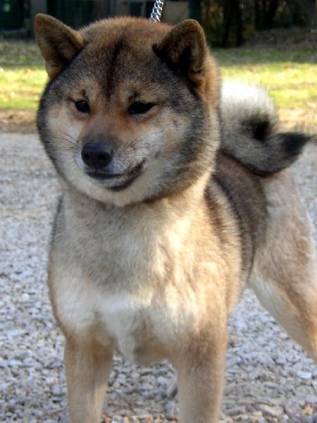 http://www.chiens-de-france.com/photo/chiens/2008_12/chiens-Shiba-35688334-99fc-3a44-d1b7-fdd8ec2dc1a9.jpg