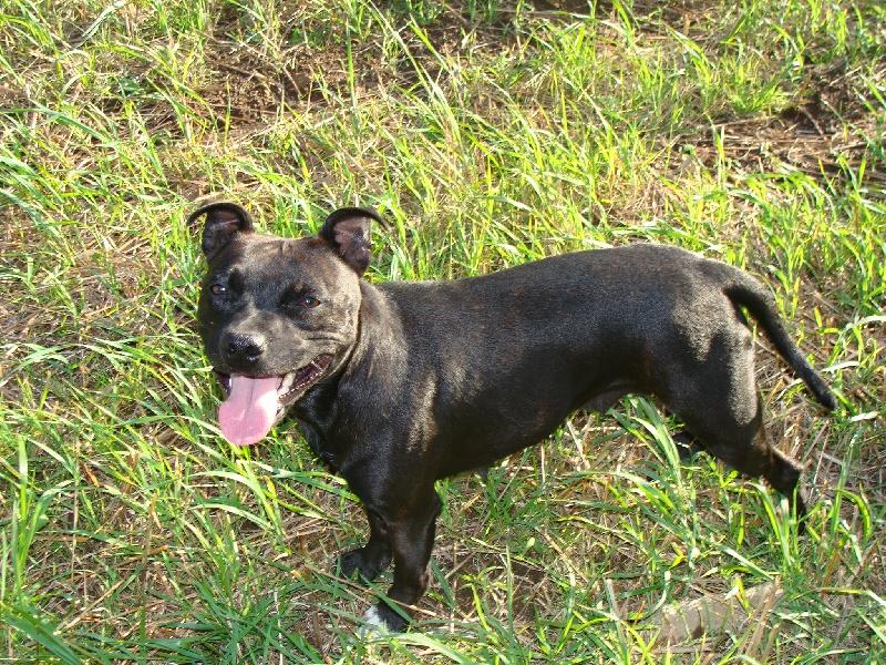 Les Staffordshire Bull Terrier de l'affixe des terres de la Munia