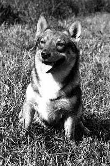 Vallhund suedois-Spitz des Wisigoths - kungsbackens Alfred