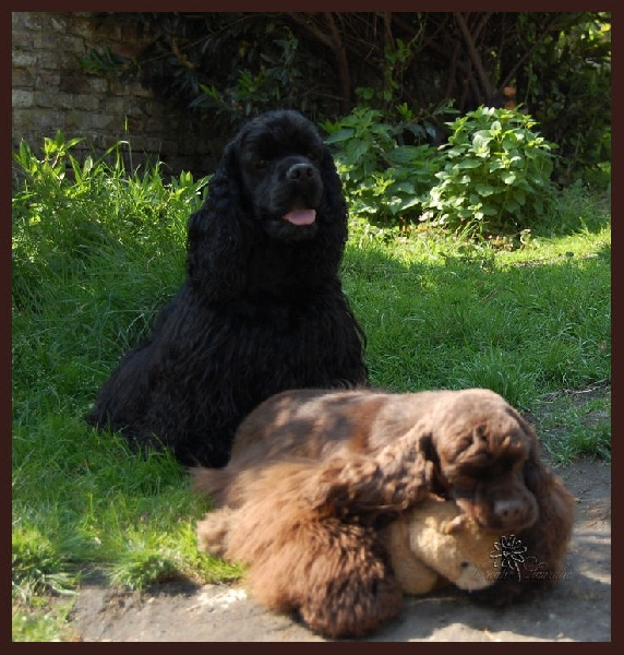 Les American Cocker Spaniel de l'affixe of Islands Bears