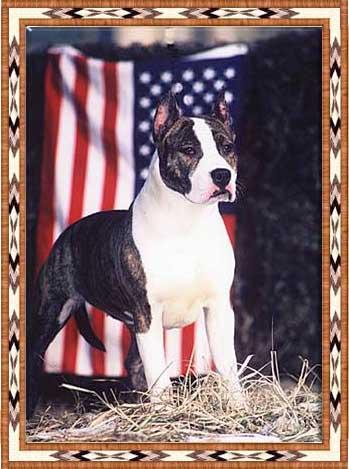 Les American Staffordshire Terrier de l'affixe des terres indiennes