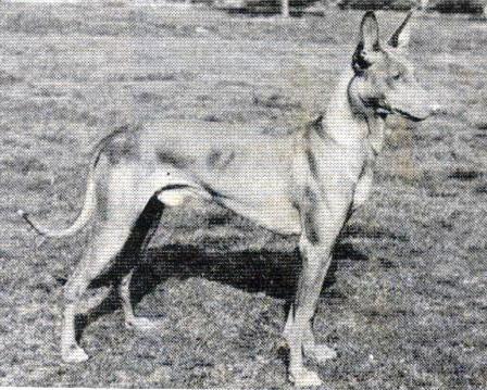 Le Standard de la race Chien du Pharaon sur Atara.com