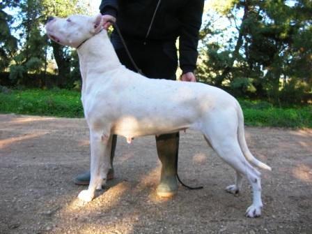 Les Dogo Argentino de l'affixe dell'Antiqua Apulia