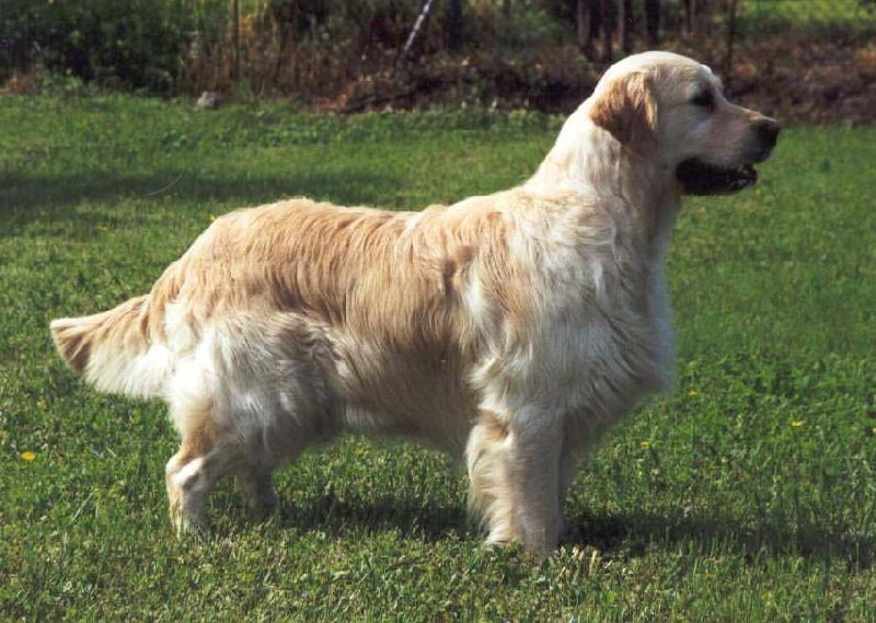 Les Golden Retriever de l'affixe Ashbury