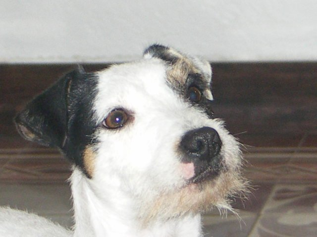 Les Parson Russell Terrier de l'affixe Du site corot