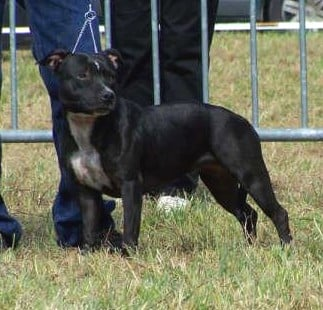 Les Staffordshire Bull Terrier de l'affixe des kitchou'Pitchou
