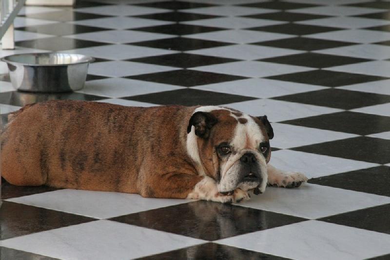 Les Bulldog Anglais de l'affixe du Domaine des Remparts