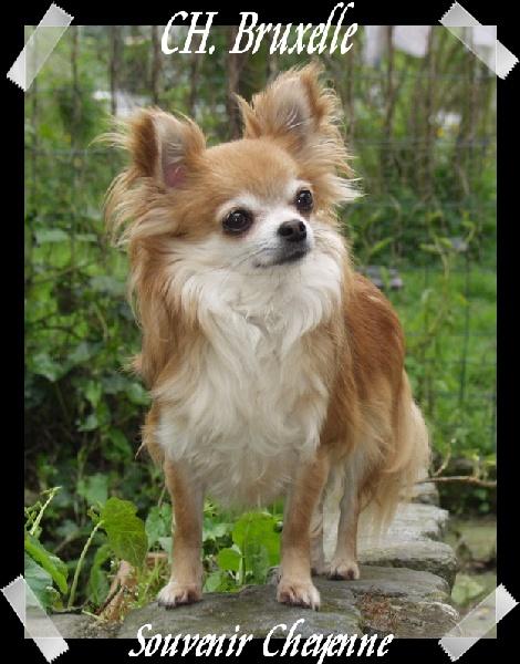 Les Chihuahua de l'affixe Souvenir Cheyenne