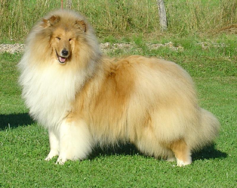 crusader des beldones chien de race toutes races en tous departements france inscrit sur chiens. Black Bedroom Furniture Sets. Home Design Ideas