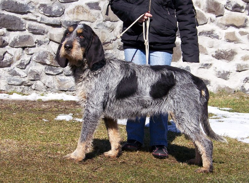 bleu gascogne chien