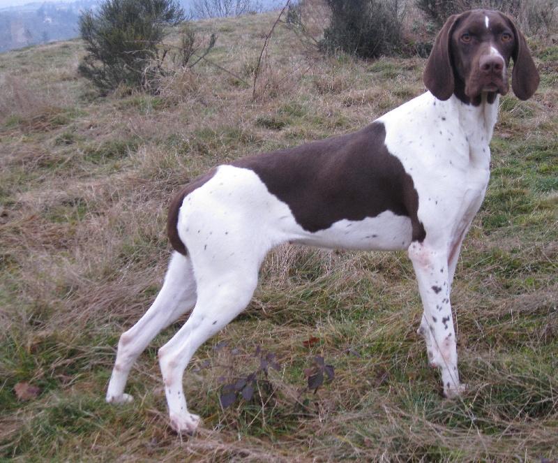 Les Braque français, type Gascogne (grande taille) de l'affixe du vallon de Beaudini