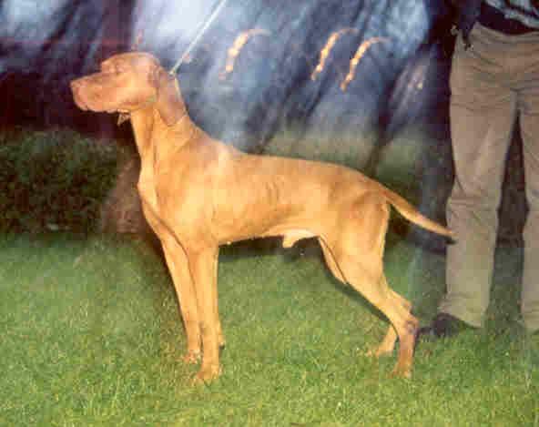 Bob zo stredy chien de race toutes races en tous departements france inscrit sur chiens de france - Braque hongrois a poil court ...