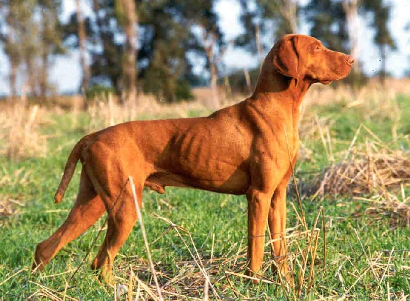 Magor erdesz chien de race toutes races en tous departements france inscrit sur chiens de france - Braque hongrois a poil court ...