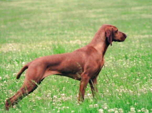 Ch ga a de la fontaine du fagnolet chien de race toutes races en tous departements france - Braque hongrois a poil court ...