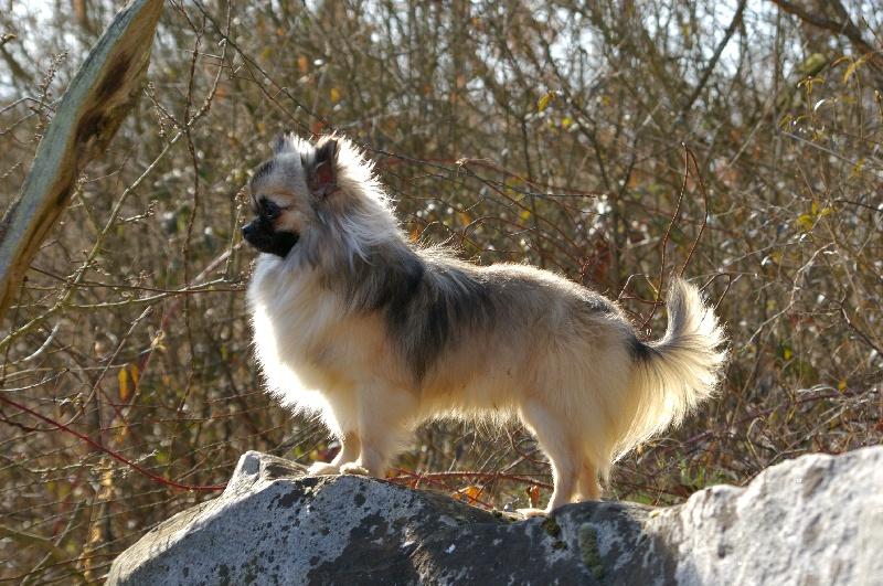 Les Chihuahua de l'affixe du Domaine de la Clairiere aux Loups