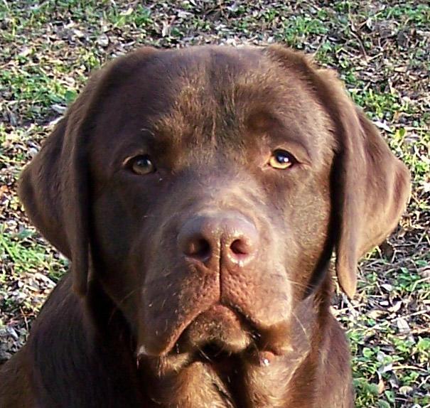 Champion de Chantemelse chien de race toutes races en tous