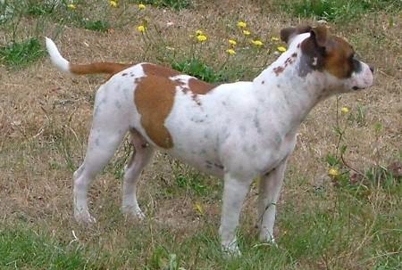 Les Staffordshire Bull Terrier de l'affixe Des quatre jeudis
