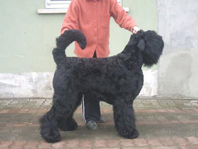 Les Terrier noir de l'affixe de Koslova