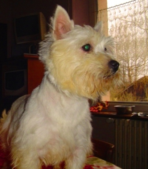 Les West Highland White Terrier de l'affixe Du void de la bure