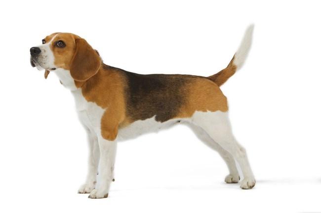 Les Beagle de l'affixe du Bray Bocage