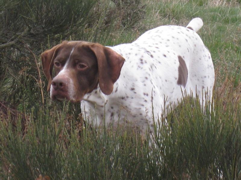 Les Braque français, type Pyrenees (petite taille) de l'affixe du vallon de Beaudini