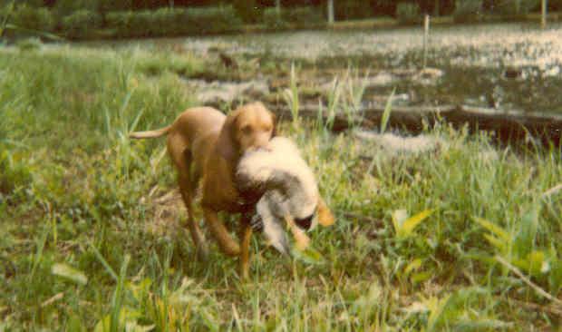 Ch saba sans affixe chien de race toutes races en tous departements france inscrit sur chiens - Braque hongrois a poil court ...