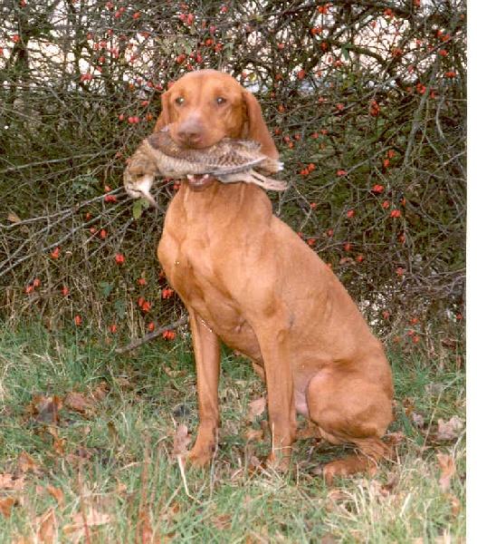 Chien elevage du fond de chouck eleveur de chiens braque hongrois poil court vizsla - Braque hongrois a poil court ...