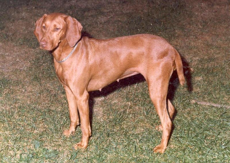 Standard officiel fci scc des chiens braque hongrois poil court vizsla avec chiens de - Braque hongrois a poil court ...