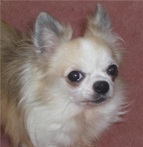Les Chihuahua de l'affixe du dolmen aux fées