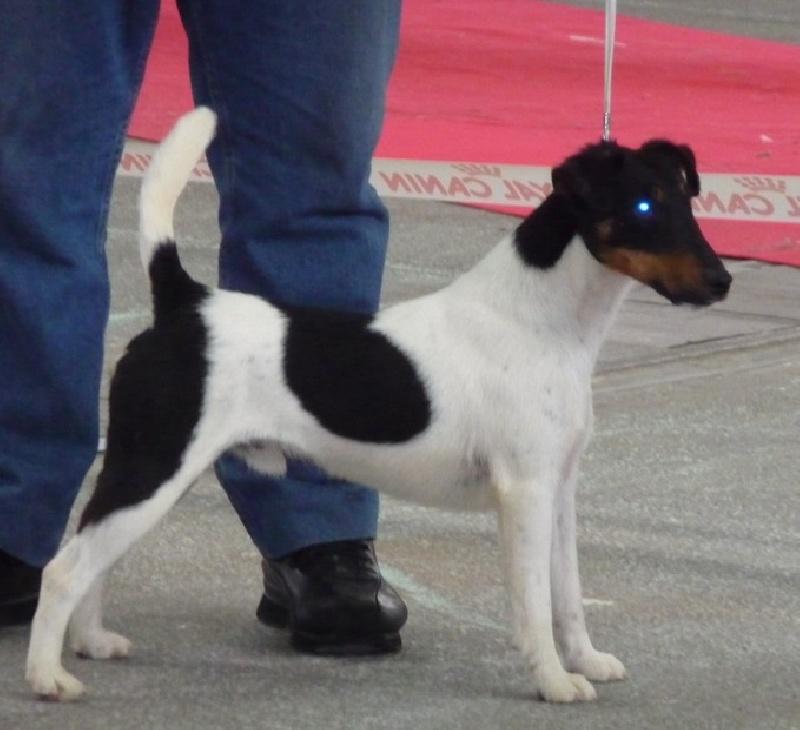 Fox Terrier Poil lisse - C'Galahad de la vetta