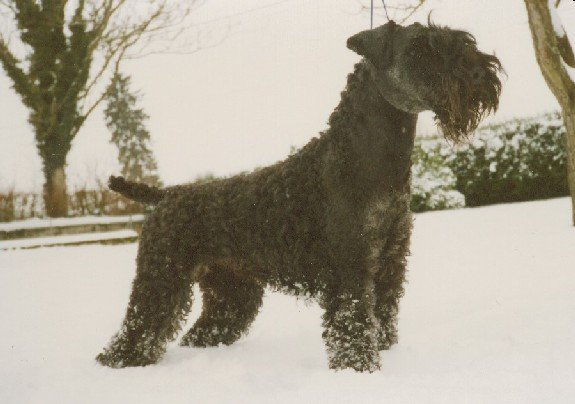 Les Kerry Blue Terrier de l'affixe de Glenderry