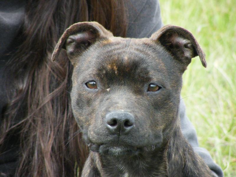 Les Staffordshire Bull Terrier de l'affixe des Archanges Bergers