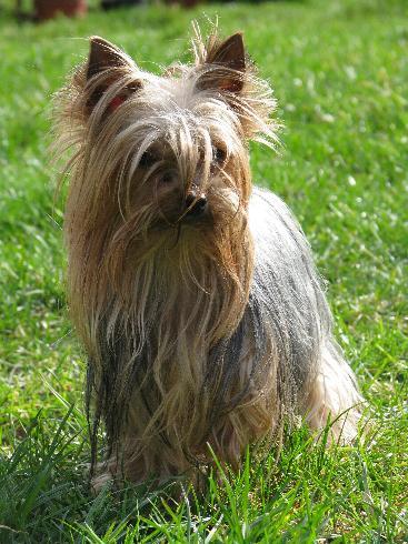 Les Yorkshire Terrier de l'affixe du Clos de L'Igloo
