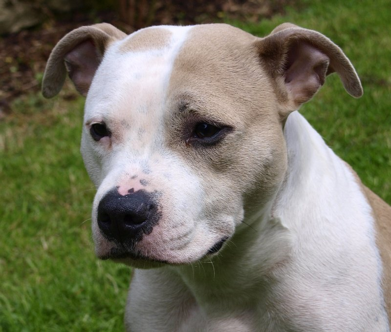 Les American Staffordshire Terrier de l'affixe des Gardiens de la Rose bleue
